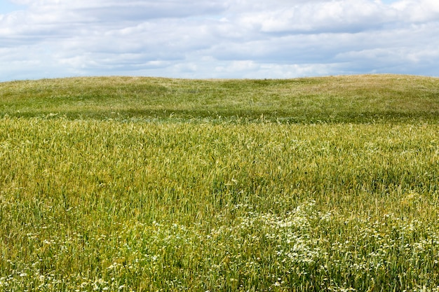 Landbouwvelden met granen en een groot aantal onkruid- en onkruidbloemen erop