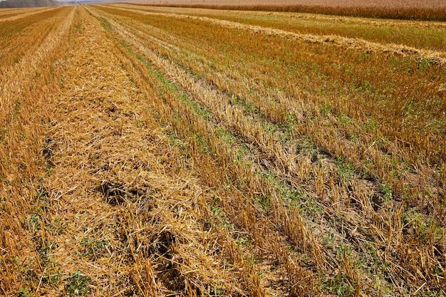 Landelijk gebied waar rijp graan wordt geoogst. landbouw