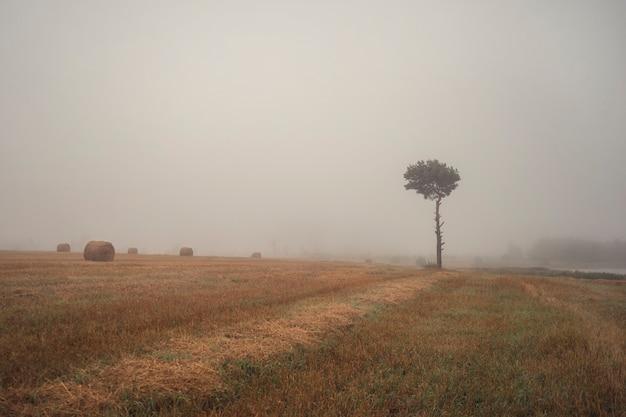 Landelijk landschap. er is een eenzame dennenboom in het veld in de mist.