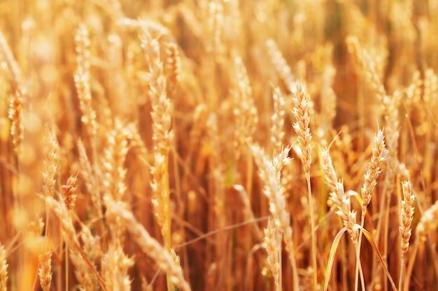 Landelijk landschap met tarwe