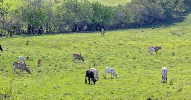 Landelijk landschap met vee grazen. staat sao paulo, brazilië.