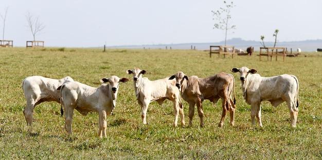 Landelijk landschap met vee, groen weiland en bomen