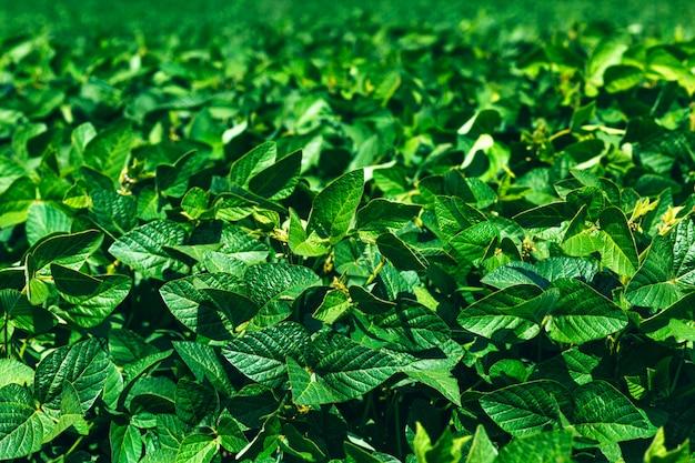 Landelijk landschap met verse groene soja veld