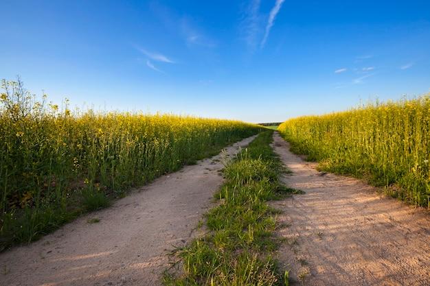 Landelijke weg die door een veld loopt waarop koolzaad groeit