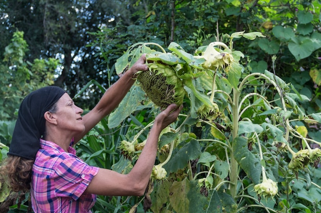 Landelijke werkende vrouw met de gedroogde zonnebloemen, al oogstrijp