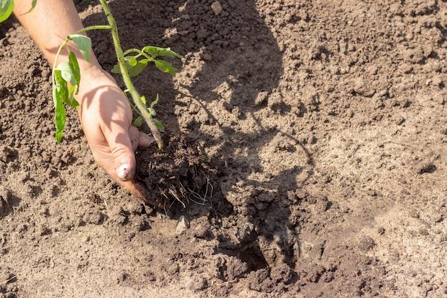 Landing in de grond planten van tomaat spruit lente zomerdag zonnige dag zaailingen
