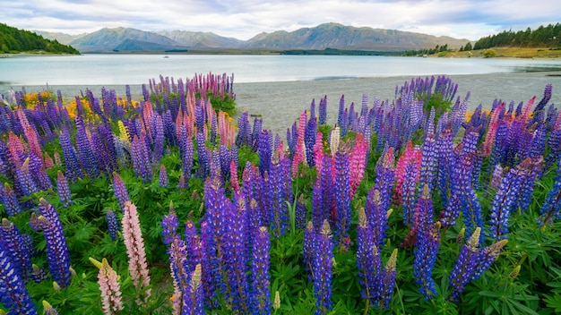 Landschap bij lake tekapo lupin field in nieuw-zeeland