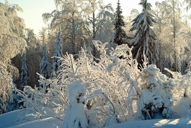Landschap met besneeuwd bos bij ijzig zonnig weer op de voorgrond een struik met pluizige rijm