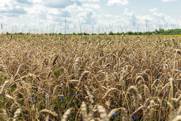 Landschap met de tarwe fild in het voorjaar