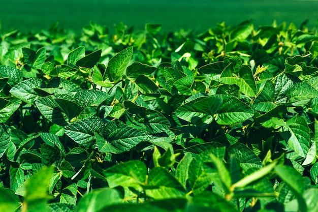 Landschap met groene soja veld