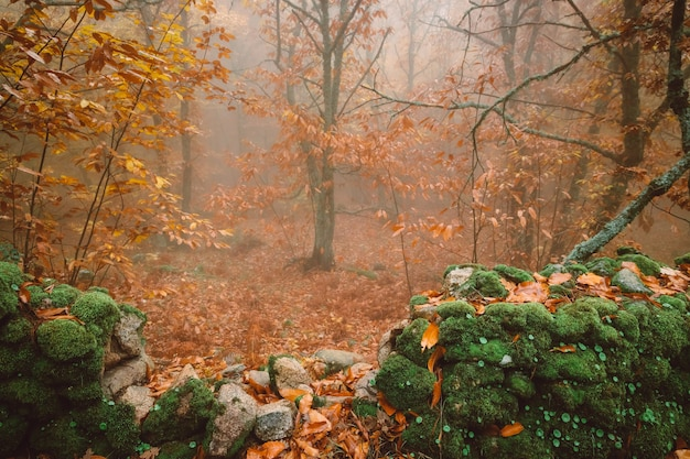 Landschap met mist in een kastanjebos nabij montanchez. extremadura. spanje.