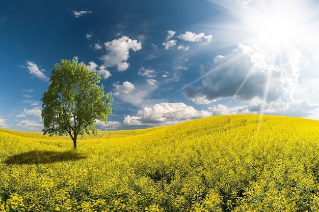 Landschap met mooie ochtend, geel koolzaadgebied