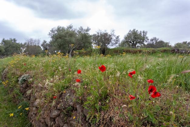 Landschap met rode bloemen klaprozen tegen de lucht
