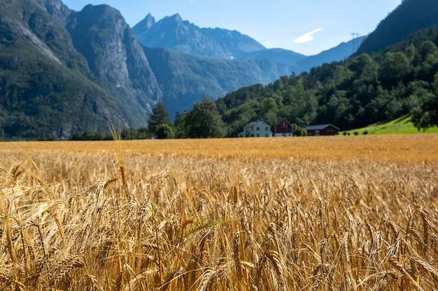 Landschap met tarweveld, bomen en dorp in noorwegen.