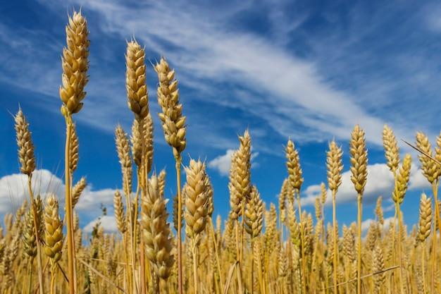 Landschap met uitzicht op rijpe korenaren in een veld tegen een blauwe hemel