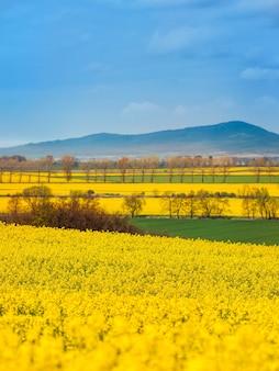 Landschap van bloeiende koolzaadvelden