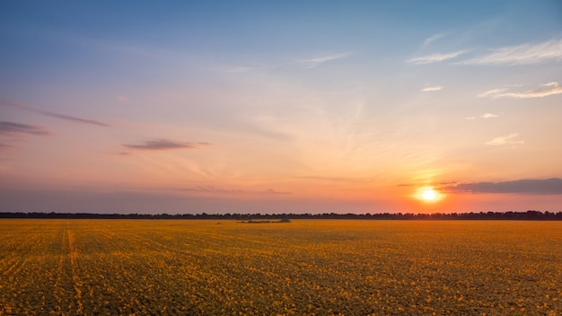 Landschap van bloeiende zonnebloemen in de avond met een ondergaande zon op de achtergrond