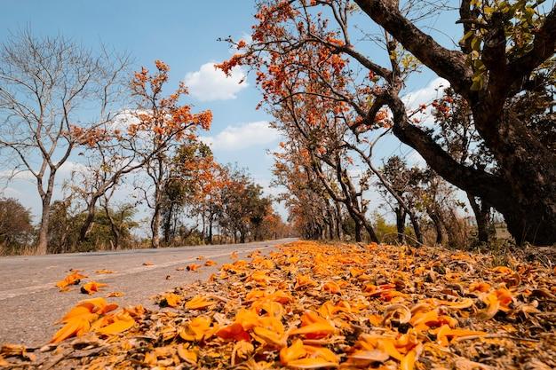 Landschap van de asfaltweg en palashboom met vol mooie oranjebloemboom