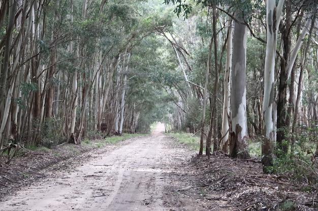 Landschap van de weg in de eucalyptus-bebossing