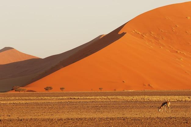 Landschap van een gigantische zandduin met op de voorgrond een antilope die voedsel zoekt