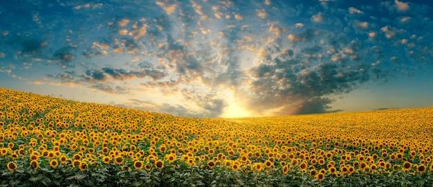 Landschap van een zonnebloemgebied