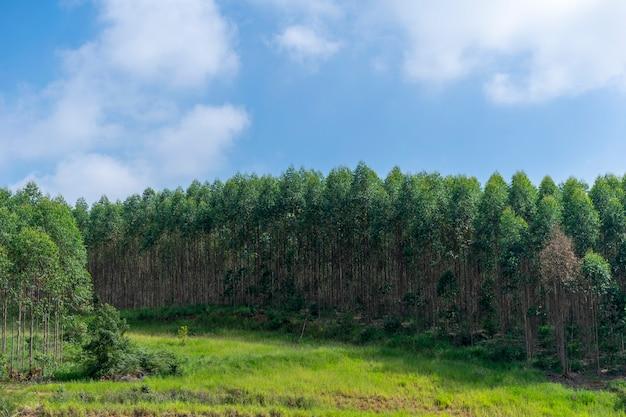 Landschap van eucalyptusaanplanting en blauwe hemel en wolken