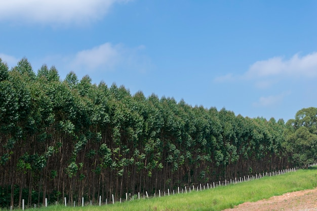 Landschap van eucalyptusaanplanting en blauwe hemel