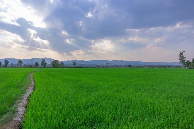 Landschap van groen padieveld met berg op achtergrond