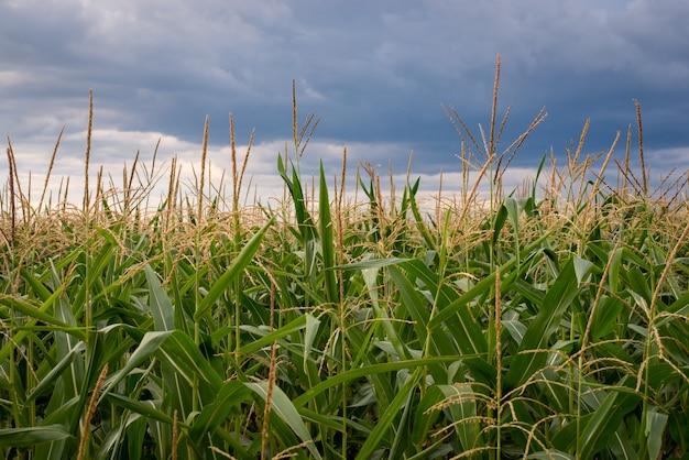 Landschap van groot gebied van maïs met regenachtige wolken