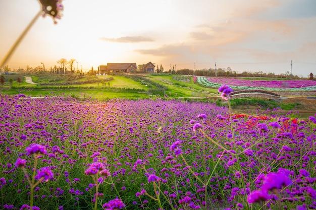 Landschap van het bloeiende gebied van de lavendelbloem met mooi huis op berg