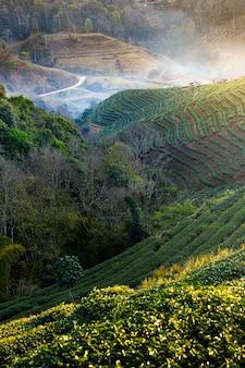 Landschap van het gebied van de theeaanplanting op berg, chiang-mai, thailand