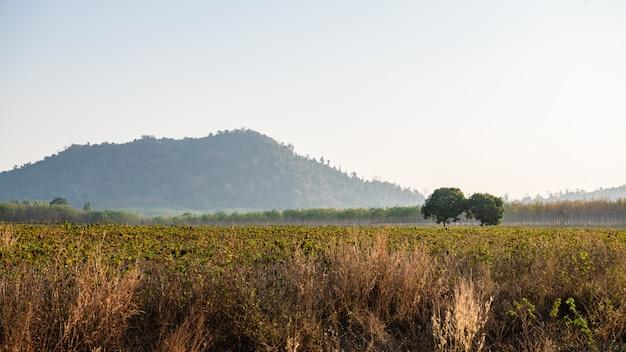 Landschap van maniokaanplanting in thailand.