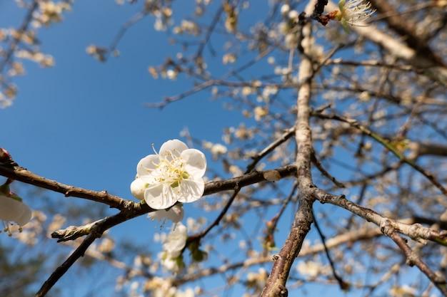 Landschap van witte pruimenbloesem in de winterdag in nantou, taiwan