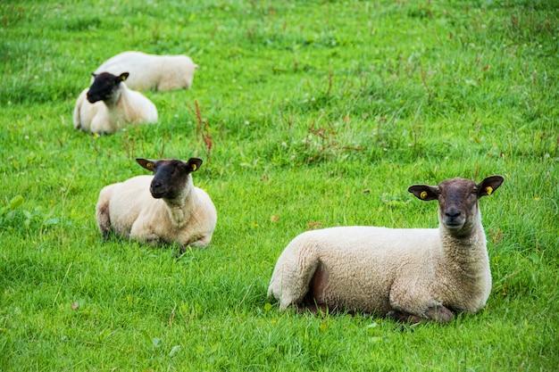 Landschappen van ierland. schapen grazen, galway county