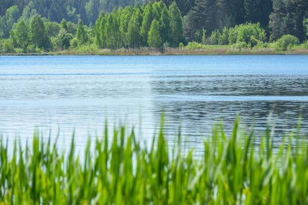 Landschapsgras groeit tegen de achtergrond van het water van het meer en het bos in de zomer