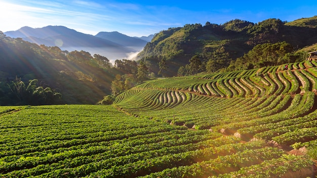 Landschapsmening van de landbouwgrond van de aardbeituin met zonsopgang bij doiang khang chiang mai, thailand. met misty en berg ochtend zonsopgang achtergrond