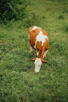 Lang geschotene koe die gras op weiland eet