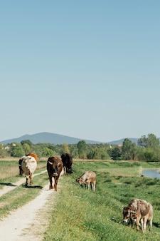 Lang geschotene koeien die op landweg lopen