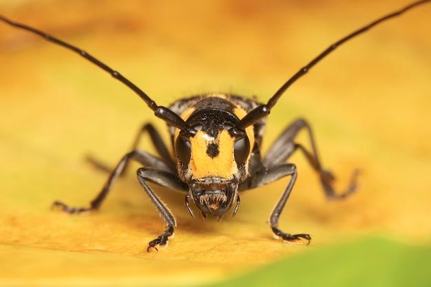 Lange gehoornde kever op geel blad