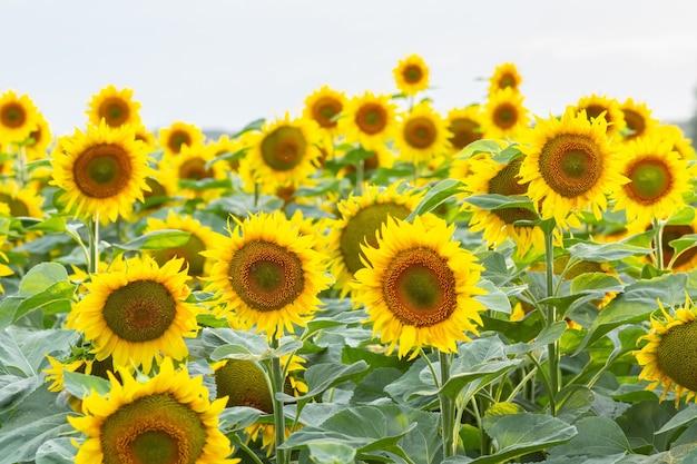 Lange gele zonnebloemen in een veld close-up