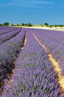 Lange lavendellijn