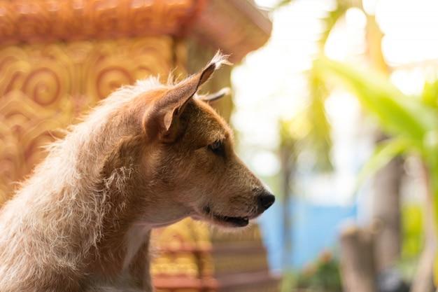 Lange oren van oude hond met lang krullenhaar