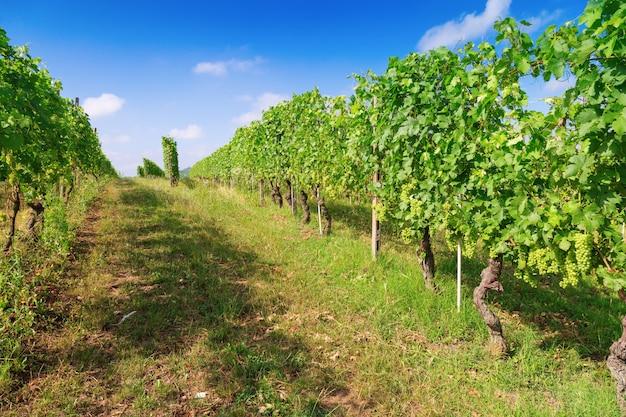 Lange rijen wijnstokken die zich uitstrekken in de verte.