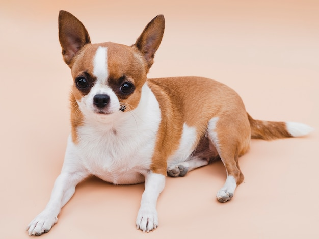 Lange weergave van schattige chihuahua hond