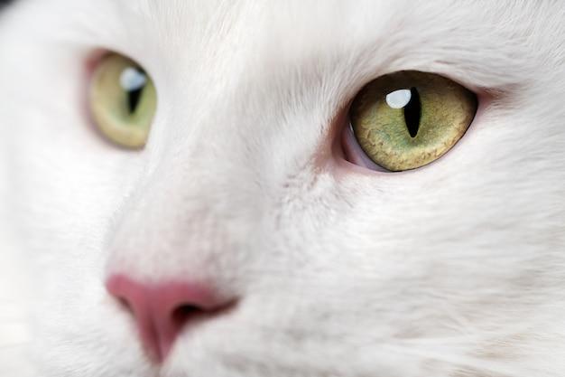 Langharige amerikaanse boskat met roze neus en grote ogen die extreem close-upportret kijken