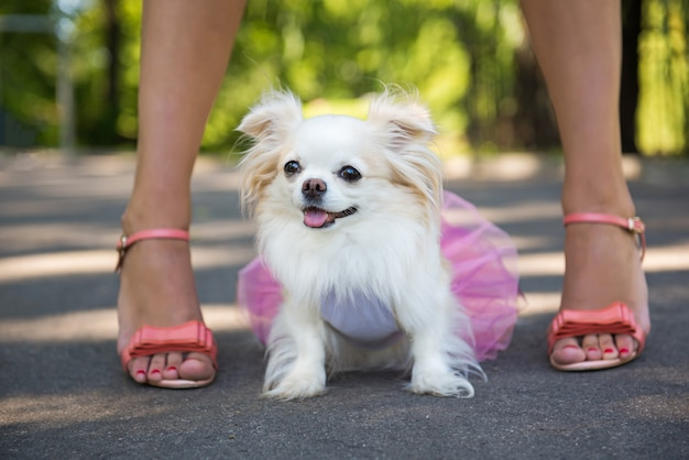 Langharige chihuahua-hond geniet van wandelen met de eigenaar.