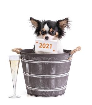 Langharige chihuahua in een emmer met een champagnefluit met een kaart 2021 in de mond op wit