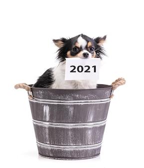 Langharige chihuahua in een emmer met een kaart 2021 in de mond op wit