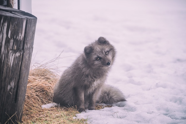 Langharige grijze hond zittend op de grond bedekt met sneeuw