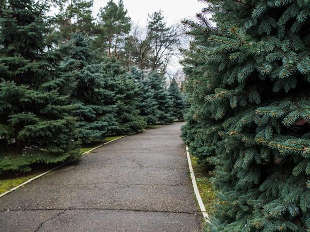 Langs de stoep in het stadspark worden groenblijvende sparren geplant. bewolkte lucht